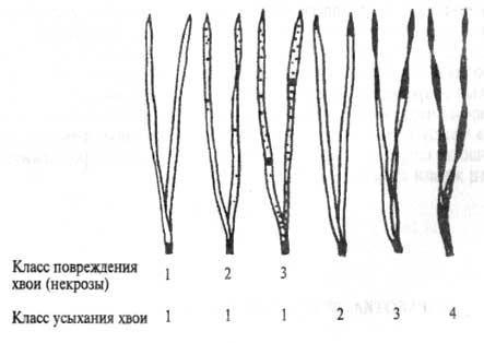Методика проведения исследования Эксперимент.  Определение состояния хвои сосны обыкновенной для оценки...