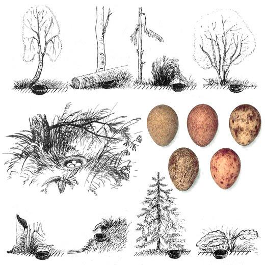 Лесной конек, или лесная щеврица (устар.) — Anthus trivialis