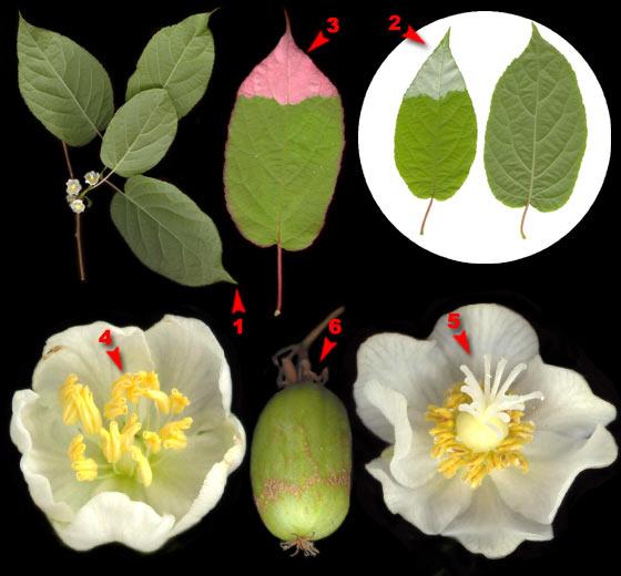 Актинидия амурская (коломикта)