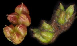 Пузыреплодник калинолистный и Спирея иволистная