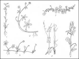 Морфологическое описание цветкового растения
