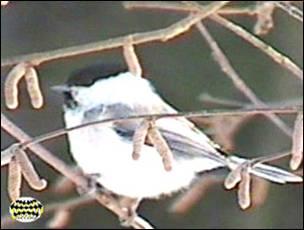 Изучение кормового поведения видов птиц смешанных синичьих стай