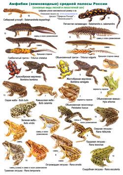 Амфибии и рептилии средней полосы России - определительная таблица 1 стр.
