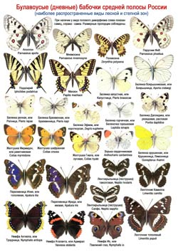 Дневные бабочки - 1 стр.