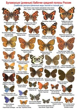 Дневные бабочки - 2 стр.