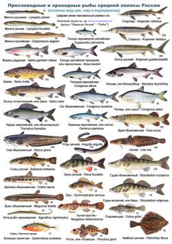 Проходные рыбы средней полосы россии