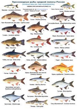 Рыбы средней полосы России - определительная таблица 2 стр.
