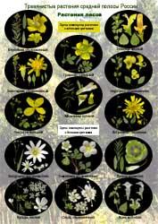 Растений произрастающих в средней