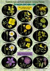 Растения лугов - 1 стр.