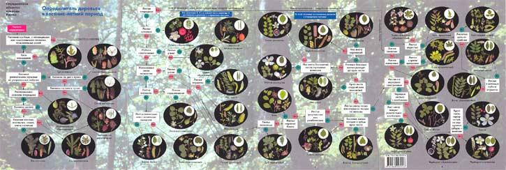 Определитель деревьев средней полосы России в весенне-летний период