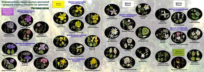 Определитель травянистых растений по цветкам: растения лесов
