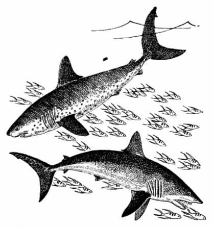 Реферат на тему Класс хрящевых рыб.