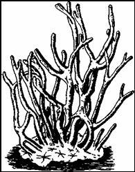 Бодяга (Spongilla lacustris)