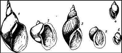 Прудовики. 1 — обыкновенный прудовик; 2 — ушковый прудовик; 3 — болотный прудовик; 4 — физа заостренная (Physa acuta); 5 — яйцевидный прудовик (L. ovata); 6 — физа ключевая (Physa fontinalis)