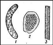 Кладки моллюсков. 1 — прудовика; 2 — катушки; 3 — битинии
