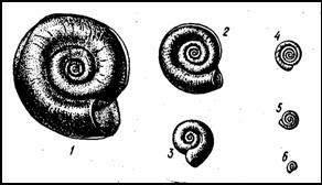 Катушки. 1 — роговая катушка (Planorbis corneus); 2 — катушка краевая (P. marginatus); 3 — катушка килевая (P. carinatus), 4 — катушка круговая (P. vortex); 5 — катушка завитая (P. contortus); 6 — катушка гладкая (P. glaber)