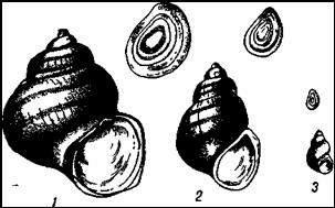 Лужанки и битиния. 1 — лужанка настоящая (Viviparus viviparus), 2 — лужайка полосатая (V. fasciata), 3 — битиния щупальцевая (Bithynia tentaculata)