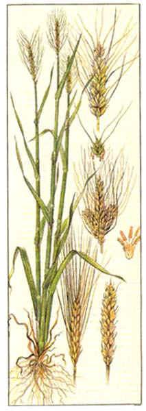 Пшеница - Triticum