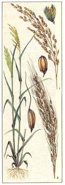 Рис посевной - Oryza sativa