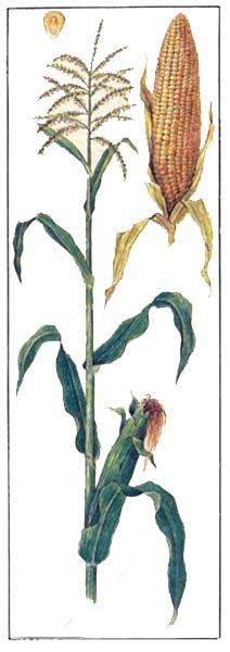 Кукуруза - Zea mays