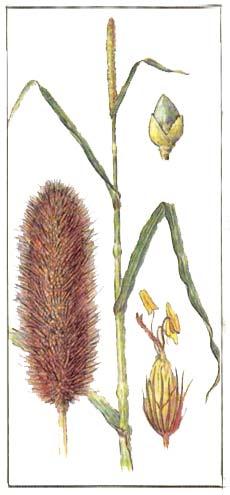 Просо африканское - Pennisetum spicatum