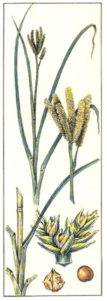Дагусса - Eleusine coracana
