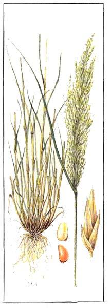 Теф - Eragrostis tef