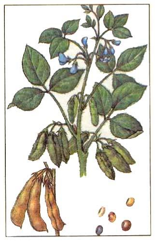 Соя - Glycine hispida