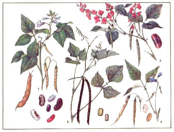 Фасоль - Phaseolus и Vigna