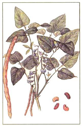 Вигна - Vigna unquiculata