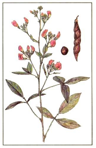 Голубиный горох - Cajanus indicus