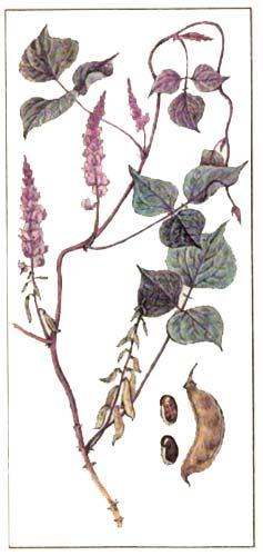 Гиацинтовые, или египетские, бобы (Dolichos lablab