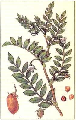 Нут - Cicer arietinum