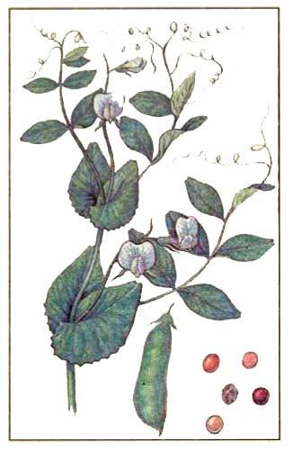 Pisum sativum L. — горох посевной