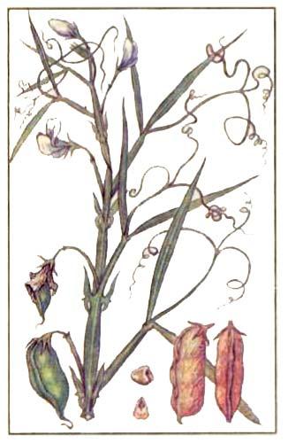 Чина посевная — Lathyrus sativus