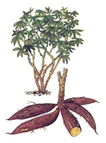 Маниока (Manihot esculenta L.)