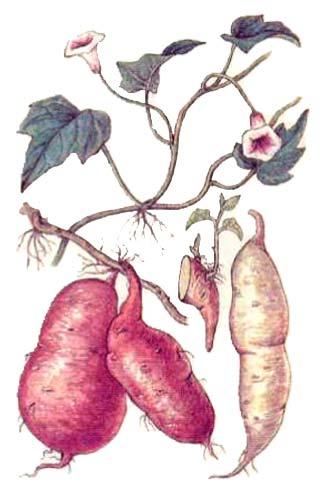 Батат (сладкий картофель) — Ipomea batatos