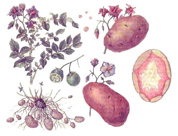 Картофель (Solanum tuberosum L.)