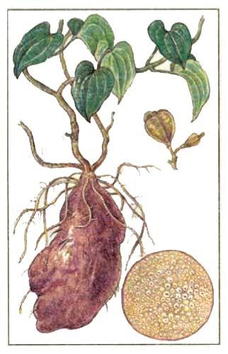 Ямс (Dioscorea alata L.)