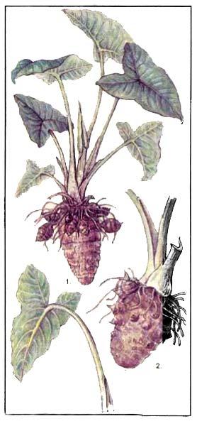 Таро - Calocasia и Xanthosoma