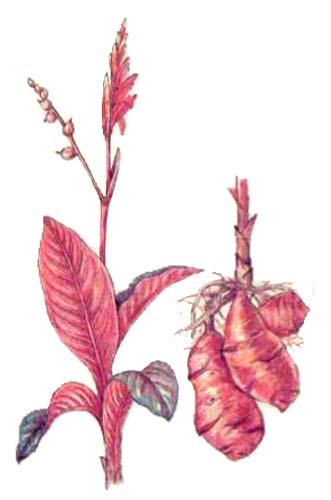 Канна (Canna edulsis К.)