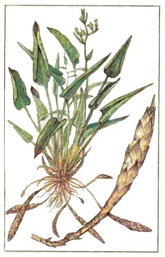 Маранта (Maranta arundinaceae L)