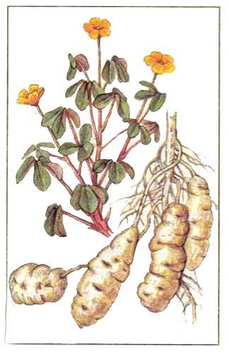 Ока или кислица клубеносная (Oxalis tuberosus С.)