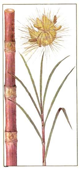 Сахарный тростник благородный (Saccharum officinarum L)