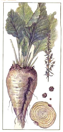 Свекла сахарная (Beta vulgaris var. saccharifera)