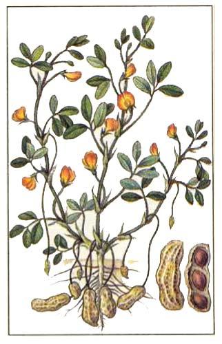 Арахис, или земляной орех (Arachis hypogaea L)