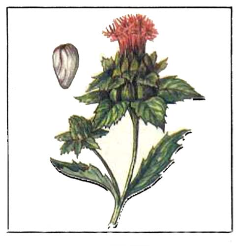 Carthamus tinctorius L. — сафлор красильный