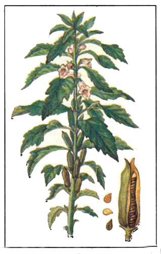 Кунжут индийский (Sesamum indicum L)