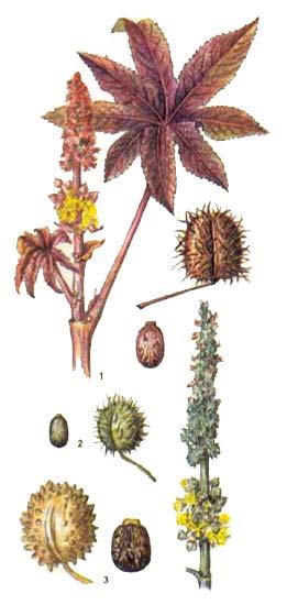 Клещевина (Ricinus communis L.)