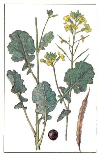 Рапс масличный (Brassica napus L. ssp. oleifera Metzg.)